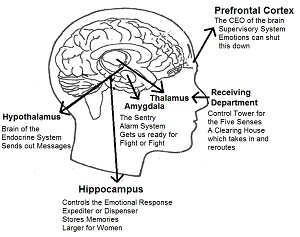 The Human Brain - laminated card